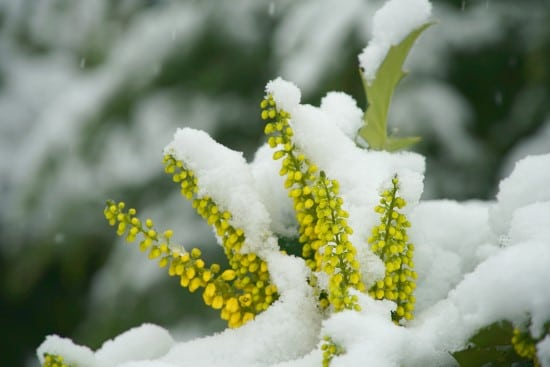 Mahonia Winter Flowering Bulbs