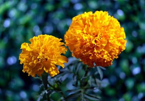 Marigold Frost Tolerant Flowers