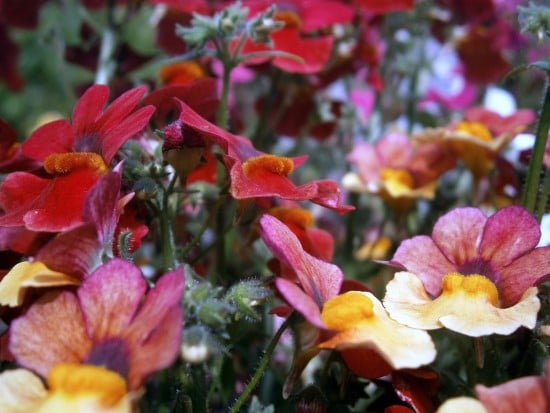 Nemesia Frost Tolerant Flowers 1