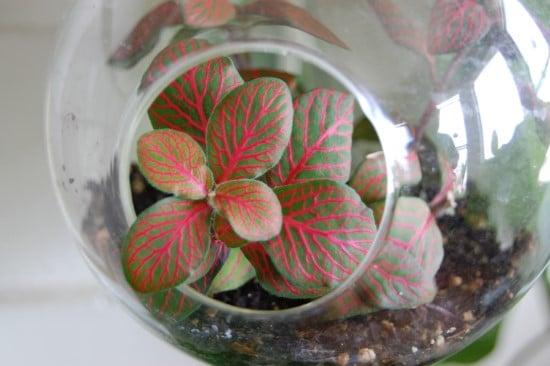 Nerve Plants Best Terrarium Plants for Your Home