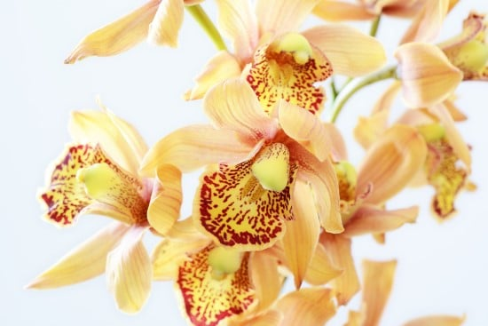 Orchid Yellow Flowering Houseplants