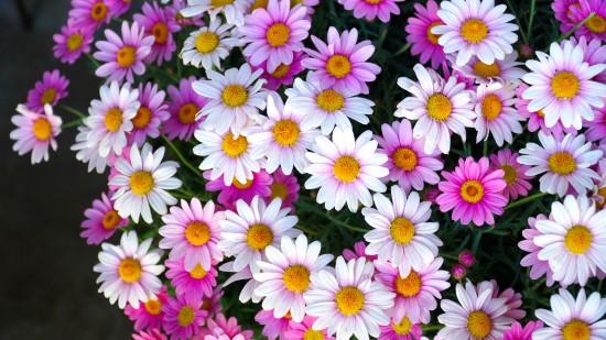 Osteospermum Frost Tolerant Flowers