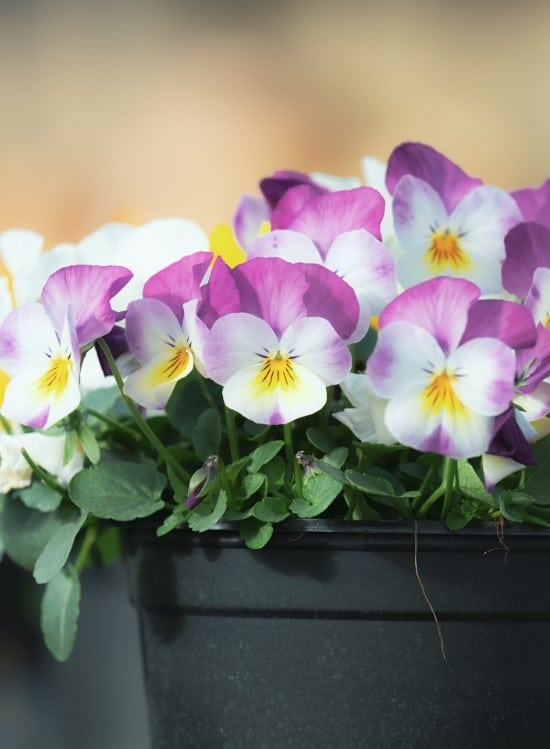 Pansy Frost Tolerant Flowers