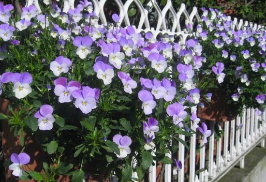 Pansy Winter Flowering Bulbs