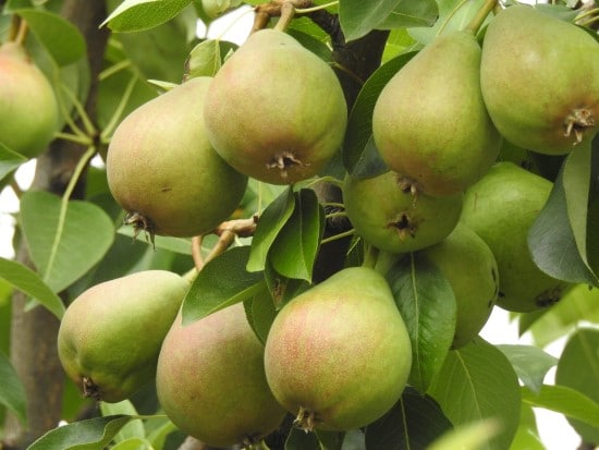 Pear Best Green Fruit Plants