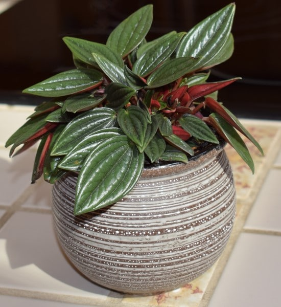 Peperomia Best Terrarium Plants for Your Home