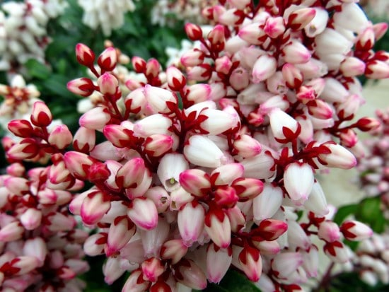 Pieris Japonica Winter Flowering Bulbs