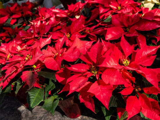 Poinsettia Red Leaf Plants