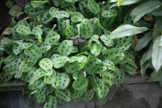 Prayer Plant Best Terrarium Plants for Your Home