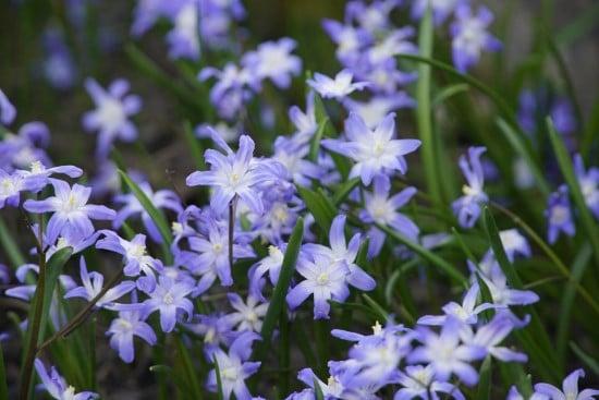 Scilla Winter Flowering Bulbs