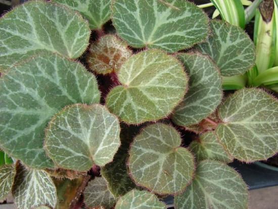 Strawberry Begonia Best Terrarium Plants for Your Home