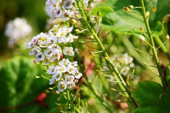 Sweet Alyssum Frost Tolerant Flowers