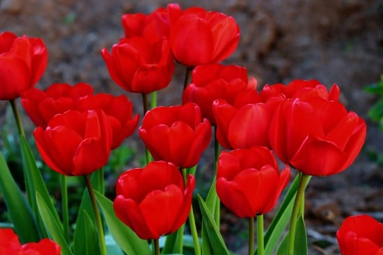 Tulips Red Perennial Flowers