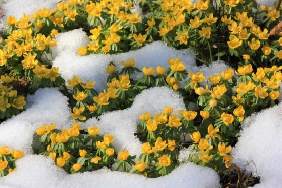 Winter Aconite Winter Flowering Bulbs