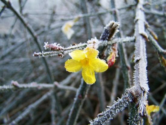 Winter Jasmine Winter Flowering Bulbs