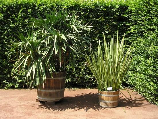 Yucca Spiky plants