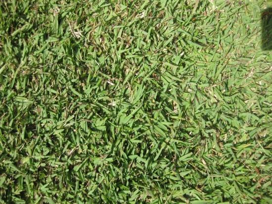 Zoysia Japonica When To Plant Zoysia Grass Seed