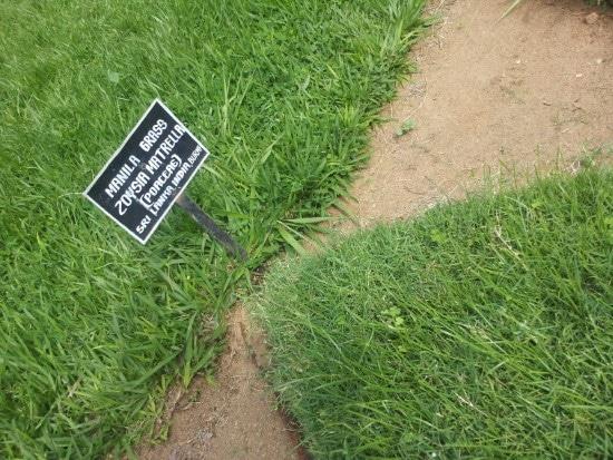 Zoysia Matrella When To Plant Zoysia Grass Seed