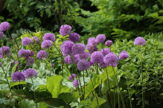 Alliums Easiest Perennial to Grow from Seed