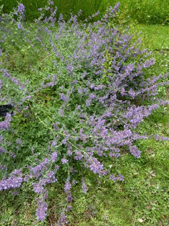 Catmint Easiest Perennial to Grow from Seed 2