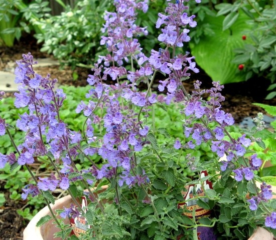 Catmint Easiest Perennial to Grow from Seed