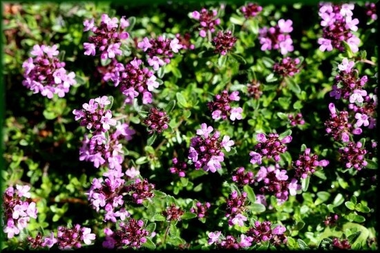 Creeping Thyme Easiest Perennial to Grow from Seed