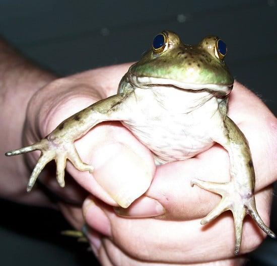 Does Baking Soda Kill Frogs