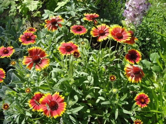 Gaillardia Easiest Perennial to Grow from Seed