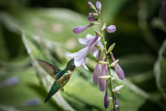 Hosta Best Flowers for Hummingbirds