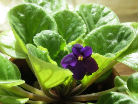 How To Fix Your African Violets Yellow Leaves