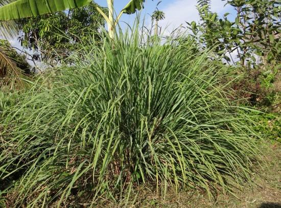 LemonGrass Best Mosquito Repellent Plants