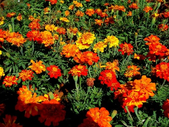 Marigold Best Mosquito Repellent Plants