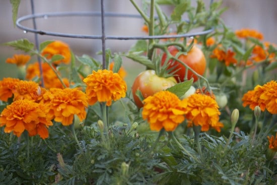 Marigold Best Tomato Companion Plants