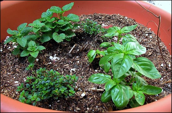 Oregano Basil Companion Plants