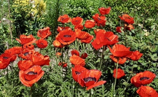 Oriental Poppies Easiest Perennial to Grow from Seed