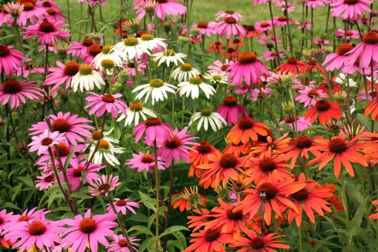 Purple Coneflower Easiest Perennial to Grow from Seed