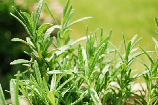 Rosemary Best Mosquito Repellent Plants