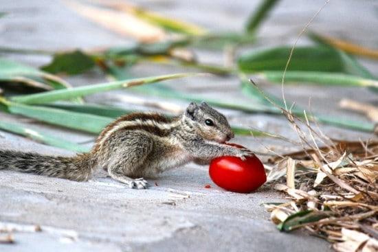 Squirrels What animal eats tomato plants