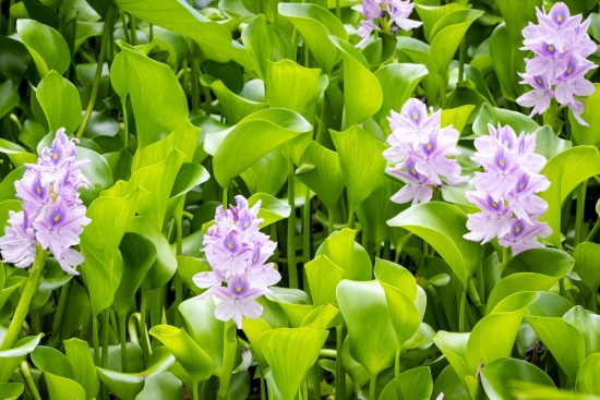 Water hyacinth Plants That Grow In Water