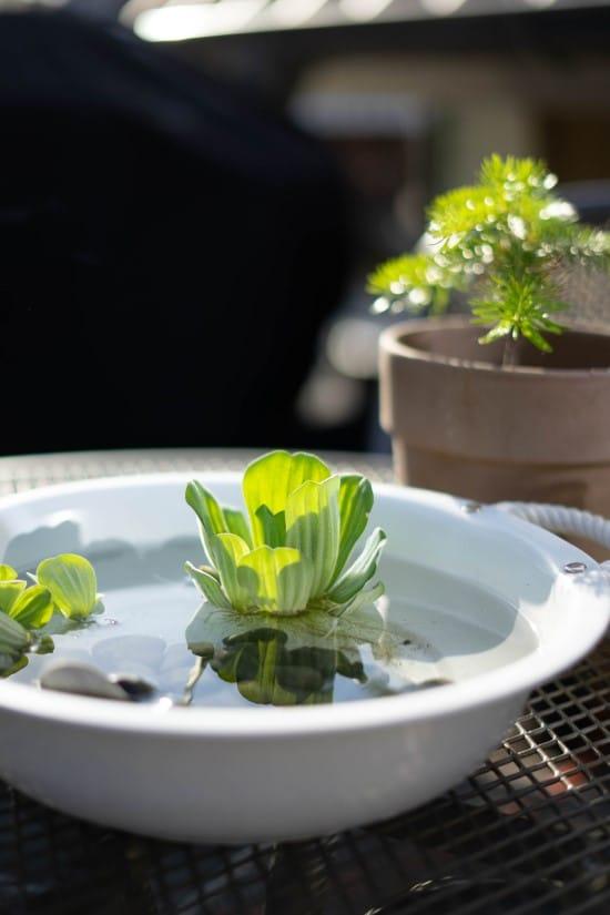 Water lettuce Plants That Grow In Water