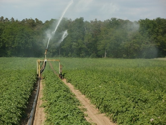 When To Stop Watering Potatoes