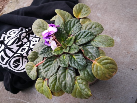 Why Are My African Violet Leaves Turning Yellow