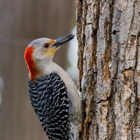 Why Do Woodpeckers Peck Trees