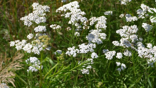 Yarrow Easiest Perennial to Grow from Seed